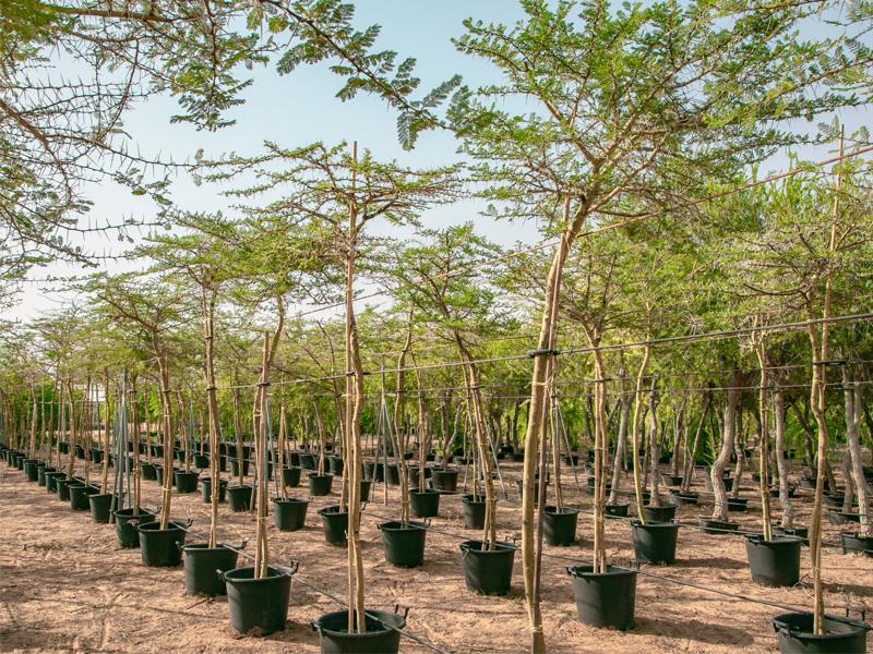 best-native-trees-in-dubai