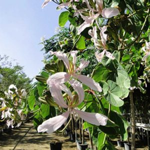 Bauhinia alba